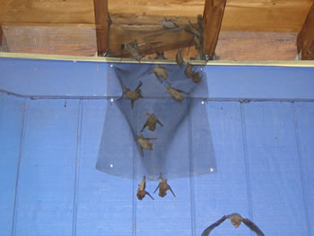 Bat Netting Prevent Bats From Your Houses And Attics