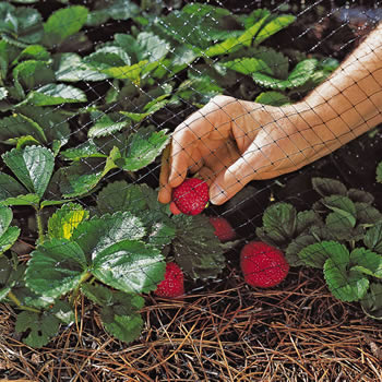 A hand is holding a strawberry which is compared with the hole size of the extruded yarn garden netting