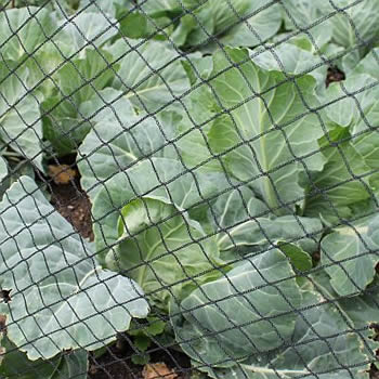 A knitted bird netting is installed around the cabbage