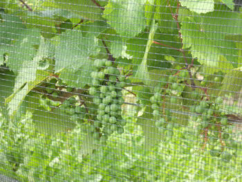The side square mesh bird netting is installed side of the grape trees