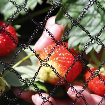 The hole of a piece of knitted yarn garden netting is compared with the strawberry